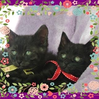 ヤンチャな黒猫の兄弟2匹の里親様を募集中です♪♪