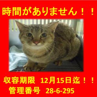 期限12月15日迄!お目目クリクリのキジ猫ちゃん♡