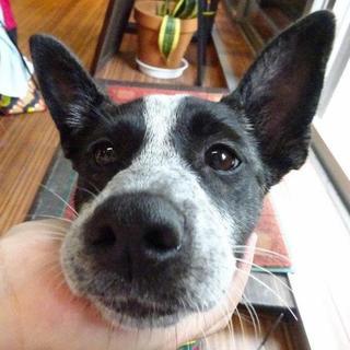 Resultado de imagen para 犬 australian catle 愛らしい目