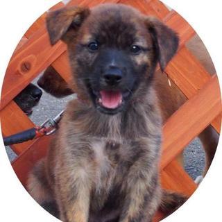 琉球犬MIX♂2か月