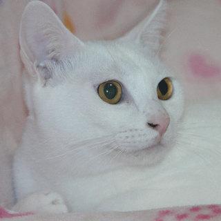 とてもおとなしくお利口な白猫のシロちゃん