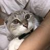 シャム猫のハーフ ♀