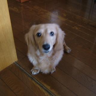 ダックス フンド 里親 ミニチュア ダックスフンドの子犬譲ります!ミニチュアダックスの里親になるルールや方法とは?