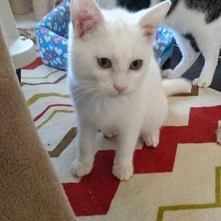 だいたい白猫♂