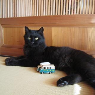 しっぽが長くてふさふさの黒猫クロちゃんです