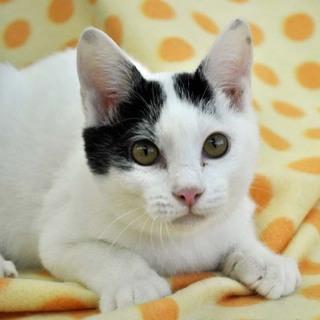 白、ときどき黒な子猫★セバスチャン