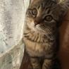 3ヶ月★キジトラのチビちゃん