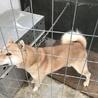 北海道犬 サムネイル2
