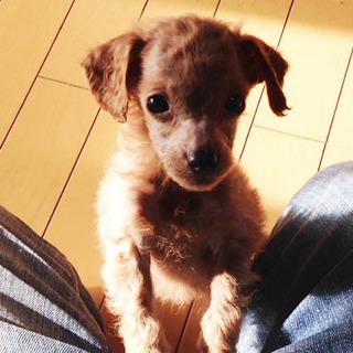 【訳あり】トイプードルの子犬(オス)