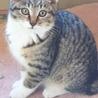 4か月 キジ白美人猫のくろちゃん
