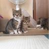 4か月 キジ白美人猫のくろちゃん サムネイル2