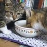 4か月 キジ白美人猫のくろちゃん サムネイル5