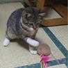 4か月 キジ白美人猫のくろちゃん サムネイル6