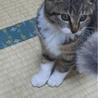 4か月 キジ白美人猫のくろちゃん サムネイル7