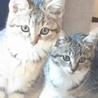 4か月 キジ白美猫のやんちゃん サムネイル2