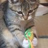 4か月 キジ白美猫のやんちゃん サムネイル4