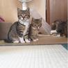 4か月 キジ白美猫のやんちゃん サムネイル5