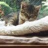 4か月 キジ白美猫のやんちゃん サムネイル6