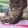 4か月 キジ白美猫のやんちゃん サムネイル7