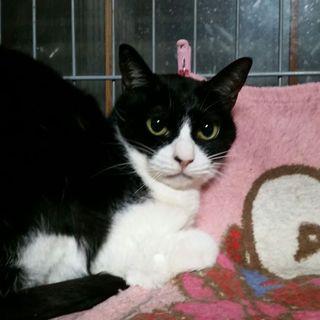 みー子5歳黒白鉢割れ美形猫