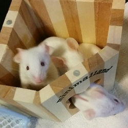 ファンシーマウス遺伝