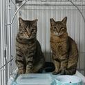 兄弟のように仲の良いオス猫2匹の里親募集