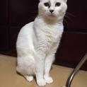 ミーコ・ママ4歳メス、優しいママほぼ真っ白なミケ