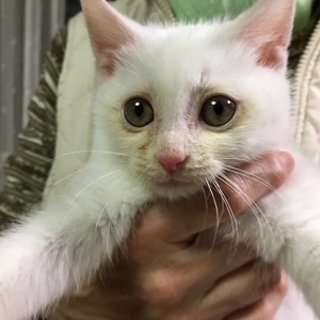 2か月 白猫のミルク