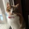 7か月位三毛の美猫ミイシャ