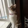 7か月位三毛の美猫ミイシャ サムネイル2