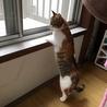 7か月位三毛の美猫ミイシャ サムネイル3