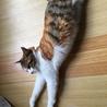 7か月位三毛の美猫ミイシャ サムネイル4
