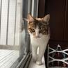 7か月位三毛の美猫ミイシャ サムネイル5