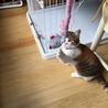 7か月位三毛の美猫ミイシャ サムネイル6