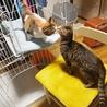 7か月位三毛の美猫ミイシャ サムネイル7