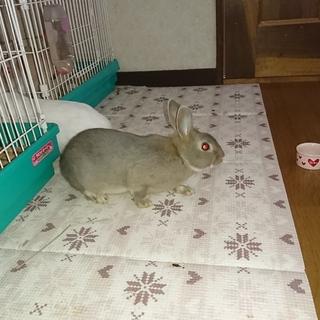 ウサギの里親募集。