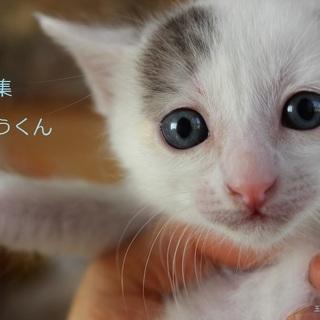 あまあま♡りんご猫♡白黒仔猫いちょうくんの里親募集