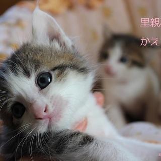 あまあま♡キジ白仔猫かえでくん里親募集