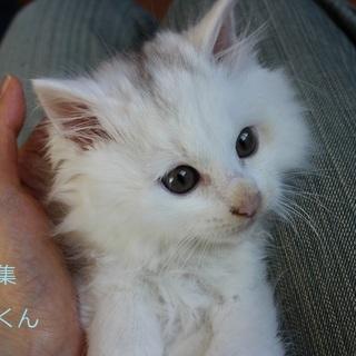 あまあま♡白子猫ジュリくん里親募集