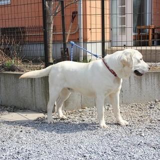 ラブラドール 1才9か月男の子 ~繁殖犬引退~