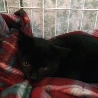 ひめ 黒猫♪ビロードのようにスベスベ♪4ヶ月