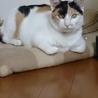 可愛いミケ猫 4,5歳くらい