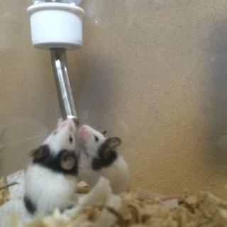 パンダマウス(生後2か月)5匹