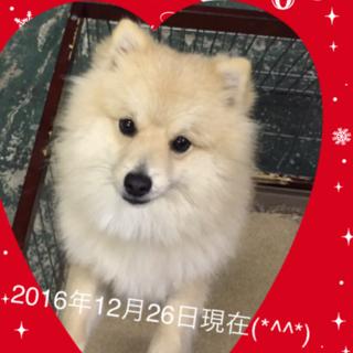 血統書付き☆ポメラニアン♂成犬ワクチン済☆去勢済☆