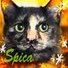 サビ猫4ヶ月♡丸い目のすりごろ長毛洋猫MIXスピカ