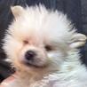2ヶ月のポメの子犬 わけありです