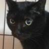 漆黒のブンブンは肉球まで黒い福猫/推定5歳