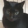 漆黒のブンブンは肉球まで黒い福猫/推定5歳 サムネイル2