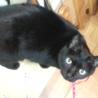 漆黒のブンブンは肉球まで黒い福猫/推定5歳 サムネイル5