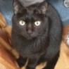 漆黒のブンブンは肉球まで黒い福猫/推定5歳 サムネイル6